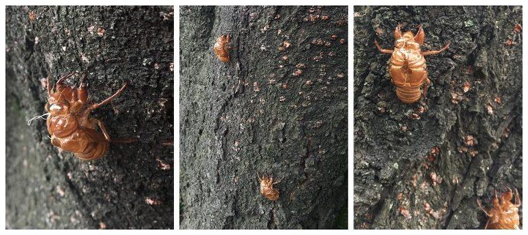 160803-012-Cicada-Shells